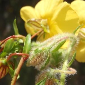 Photographie n°316292 du taxon Helianthemum Hill