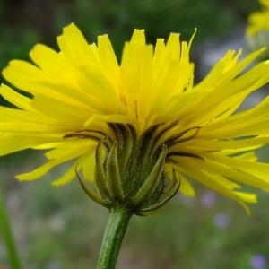 Crepis biennis L. (Crépide bisannuelle)