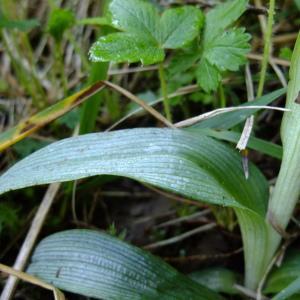 Photographie n°316402 du taxon Ophrys fuciflora (F.W.Schmidt) Moench [1802]
