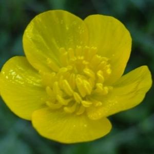 Photographie n°316450 du taxon Ranunculus bulbosus L. [1753]