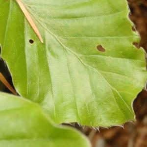 Photographie n°316515 du taxon Fagus sylvatica L.