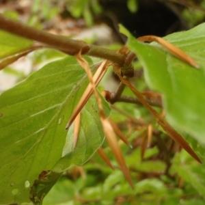 Photographie n°316516 du taxon Fagus sylvatica L.