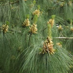 Photographie n°316555 du taxon Pinus wallichiana A.B.Jacks. [1947]