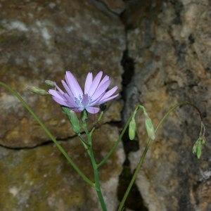 Photographie n°316878 du taxon Lactuca perennis L.