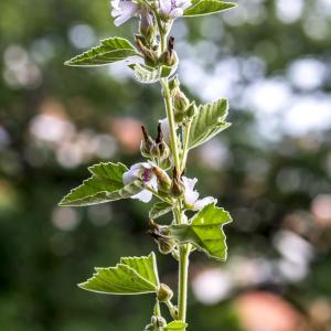Photographie n°316960 du taxon Althaea officinalis L. [1753]