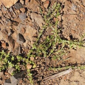 Photographie n°316971 du taxon Galium verrucosum Huds. [1767]