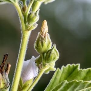 Photographie n°316973 du taxon Althaea officinalis L. [1753]