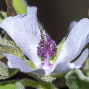 Photographie n°316981 du taxon Althaea officinalis L. [1753]