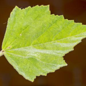 Photographie n°316990 du taxon Althaea officinalis L. [1753]