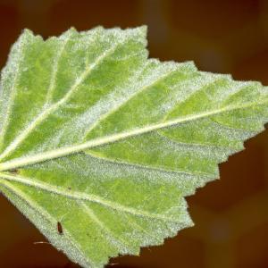 Photographie n°316994 du taxon Althaea officinalis L. [1753]
