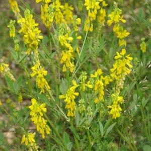 Photographie n°317171 du taxon Trigonella officinalis (L.) Coulot & Rabaute