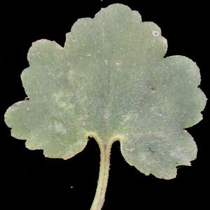 Photographie n°317274 du taxon Ranunculus bulbosus L. [1753]