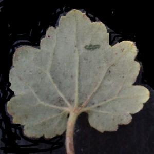 Photographie n°317275 du taxon Ranunculus bulbosus L. [1753]