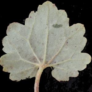 Photographie n°317276 du taxon Ranunculus bulbosus L. [1753]