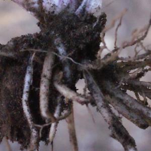Photographie n°317280 du taxon Ranunculus bulbosus L. [1753]