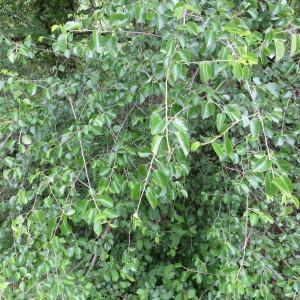 Photographie n°317514 du taxon Prunus mahaleb L.