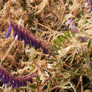 Photographie n°317950 du taxon Vicia cracca L. [1753]