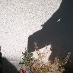 Photographie n°318154 du taxon Jacobée commune