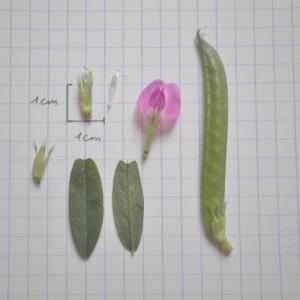 Photographie n°318187 du taxon Vicia segetalis Thuill. [1799]