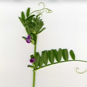 Photographie n°318189 du taxon Vicia segetalis Thuill. [1799]