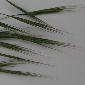 Photographie n°318280 du taxon Bromus sterilis L. [1753]