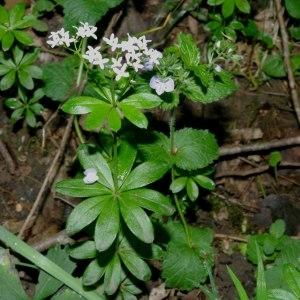 Photographie n°318290 du taxon Galium odoratum (L.) Scop. [1771]