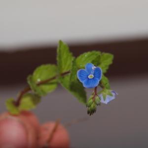 Photographie n°319078 du taxon Veronica chamaedrys L. [1753]
