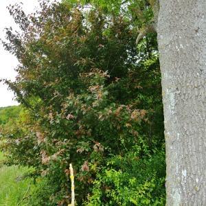 Photographie n°319224 du taxon Prunus cerasifera Ehrh.