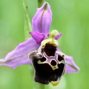 Photographie n°319271 du taxon Ophrys fuciflora (F.W.Schmidt) Moench [1802]