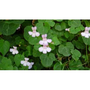 Cymbalaria hepaticifolia (Poir.) Wettst. (Cymbalaire à feuilles d'hépatique)