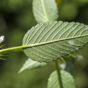 Photographie n°319555 du taxon Galeopsis tetrahit L.