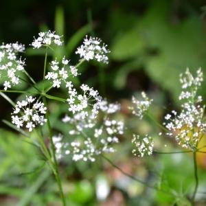 - Conopodium majus (Gouan) Loret