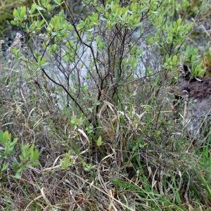 Photographie n°320012 du taxon Myrica gale L.