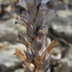 Photographie n°320164 du taxon Phelipanche rosmarina (Beck) Banfi, Galasso & Soldano [2005]