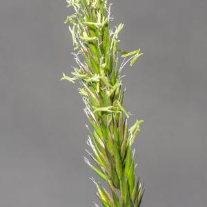 Photographie n°320289 du taxon Anthoxanthum odoratum L.