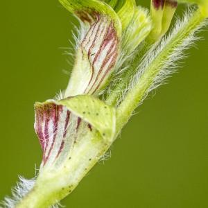 Photographie n°320348 du taxon Trifolium subterraneum L. [1753]