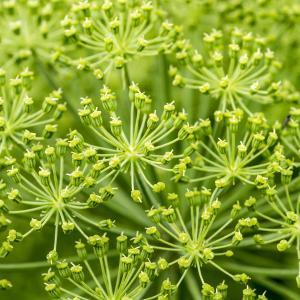 Photographie n°320382 du taxon Angelica archangelica L. [1753]