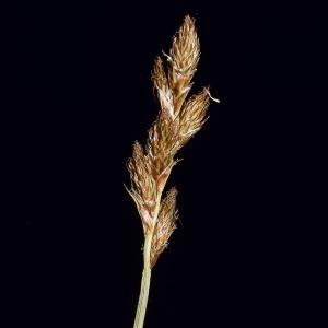 Photographie n°320449 du taxon Carex leporina L.