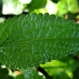 Photographie n°320670 du taxon Melittis melissophyllum L. [1753]