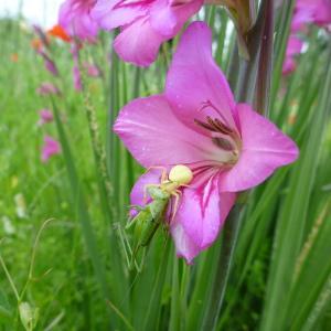 Photographie n°320858 du taxon Gladiolus communis L. [1753]