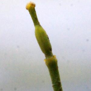 - Rorippa amphibia (L.) Besser