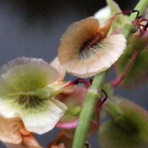 Photographie n°320955 du taxon Rumex acetosa L. [1753]