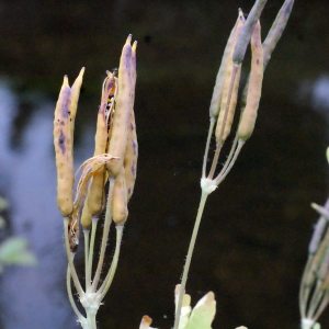 Chelidonium majus L. subsp. majus f. majus