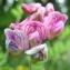 David Mercier - Lathyrus niger subsp. niger