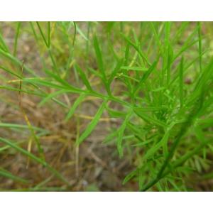 Nigella arvensis L. subsp. arvensis (Nigelle bâtarde)