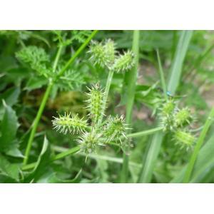 Caucalis platycarpos L. [1753] var. platycarpos