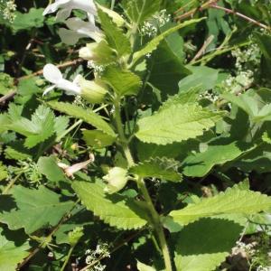 Photographie n°321248 du taxon Melittis melissophyllum L. [1753]