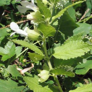 Photographie n°321249 du taxon Melittis melissophyllum L. [1753]