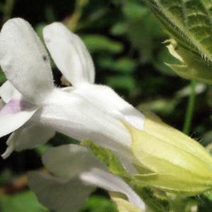 Photographie n°321252 du taxon Melittis melissophyllum L. [1753]