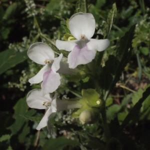 Photographie n°321254 du taxon Melittis melissophyllum L. [1753]